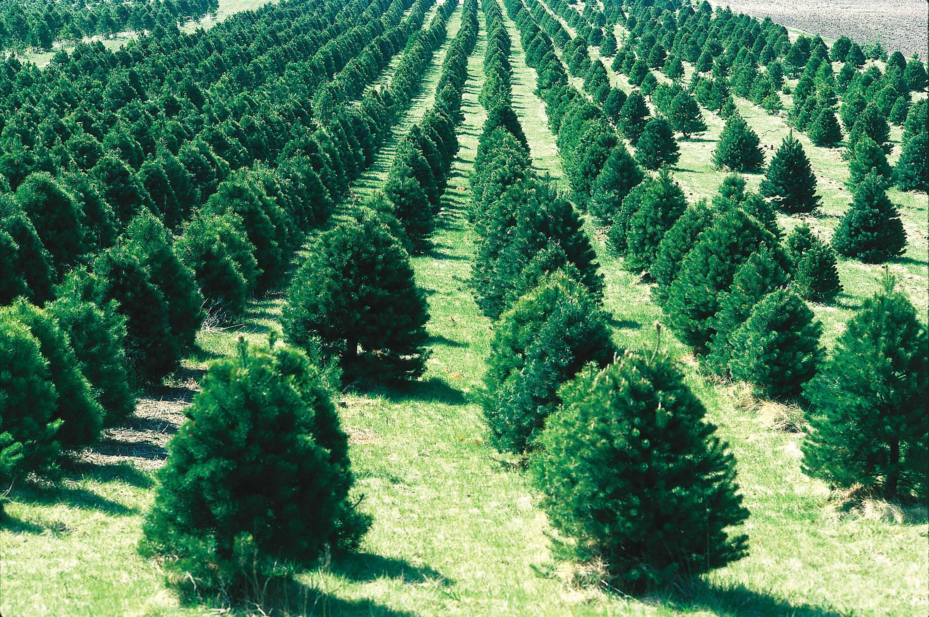 Christmas Tree Farm Arizona.Christmas Tree Cutting Permits Avaliable Nov 17 Arizona News