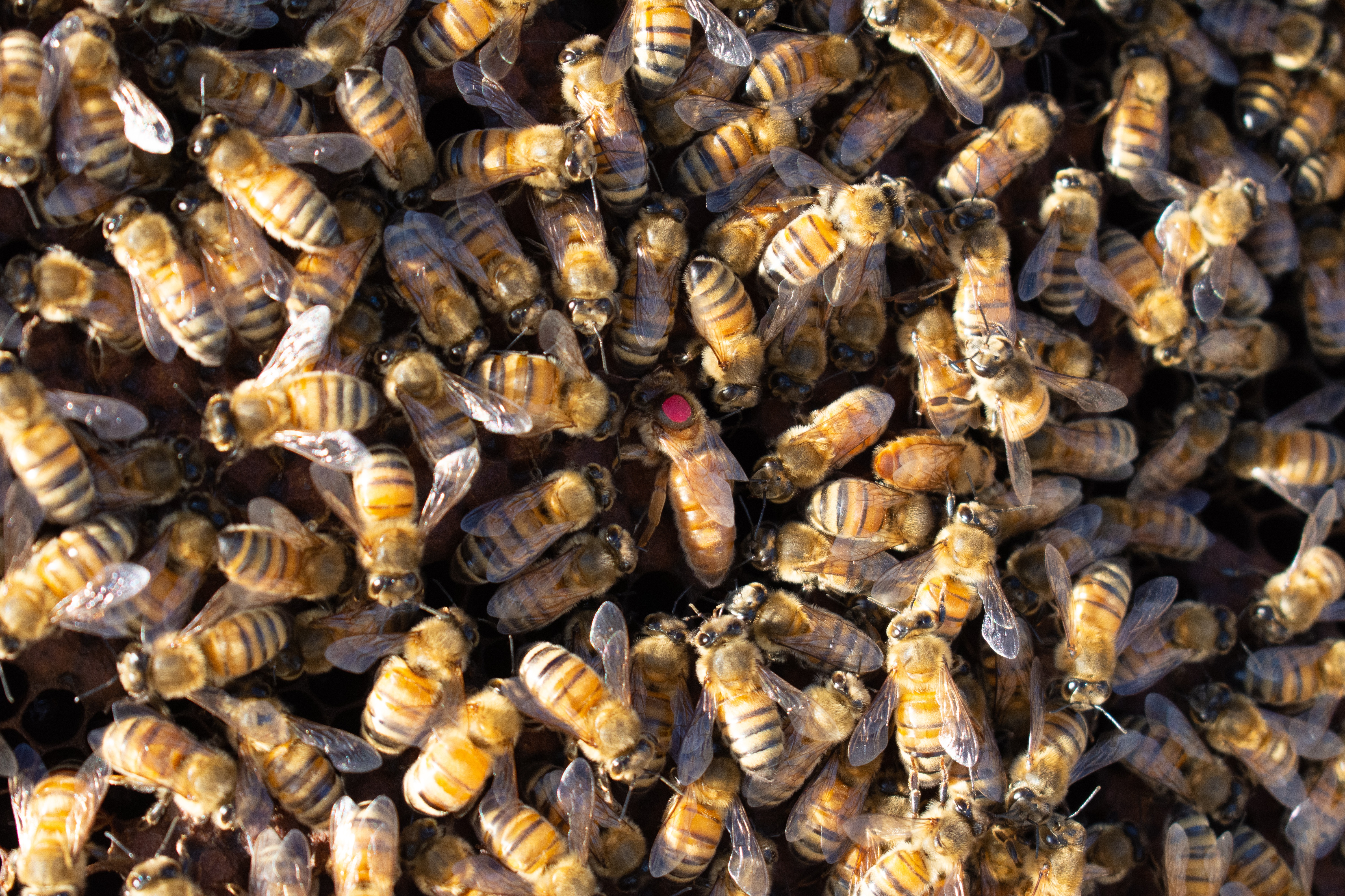 Honey bees' importance to the environment and businesses